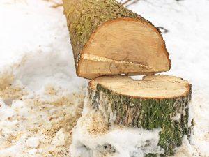 Tree Felling after Tree Cutting by Edinburgh Tree Surgeons